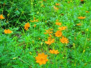 あちらこちらにこの花が植えられてます