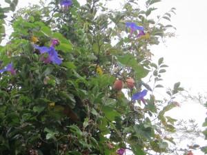 柿の木と朝顔