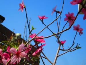 自宅の遅咲きの桃